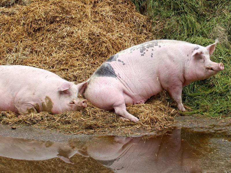 ¿Qué fue la gripe porcina de 2009?
