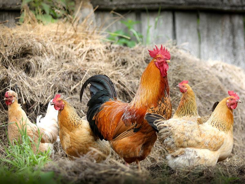 Alerta máxima tras detectar un caso de gripe aviar