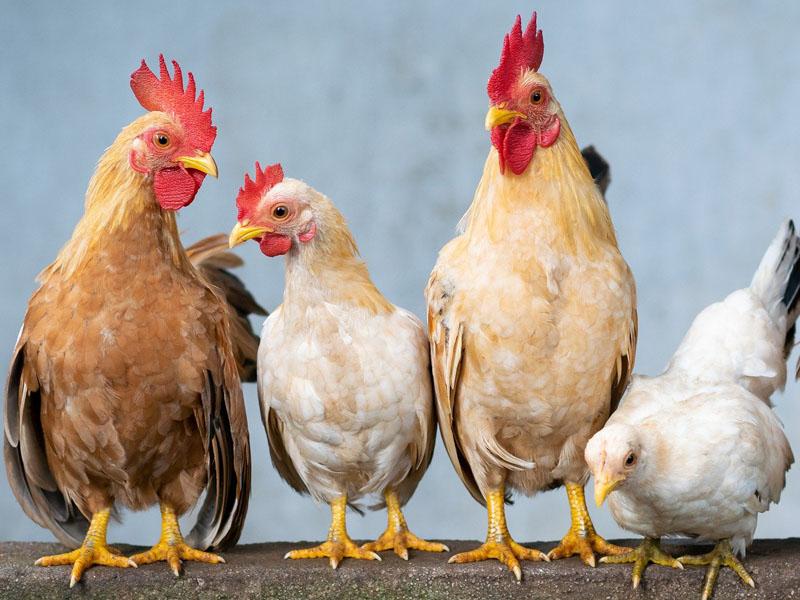 Detectan el primer caso de la nueva gripe aviar en humanos